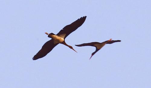 汉江兴隆水利枢纽现国家一级重点保护动物黑鹳